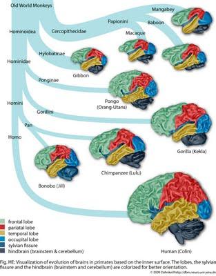 evolucion cerebral