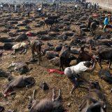 Matanza de búfalos para el festival de Gadhimai en el pueblo de Bariyapur , Nepal